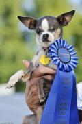 كلب صغير مجهول النسب يفوز بجائزة أقبح كلب في العالم